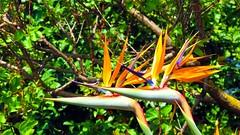 IMG_7619 - in coppia (molovate) Tags: verde canon gallo maria powershot giallo villa fiore due hs giardino coppia cresta siepe sterlizia pitosforo sx40 villagrazia volate tafme molovate