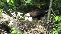 Feeding Time (shesnuckinfuts) Tags: nature mom nest feeding wildlife baldeagle raptors haliaeetusleucocephalus birdsofprey americanbaldeagle 4weeksold kentwa eaglets shesnuckinfuts may2016