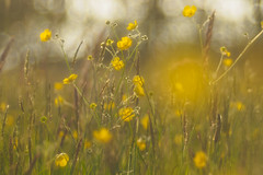 yellow dots (w-venne) Tags: sun plant weide buttercup blossom pflanze meadow wiese ranunculus gelb blte sonne ort blten grser trioplan hahnenfus