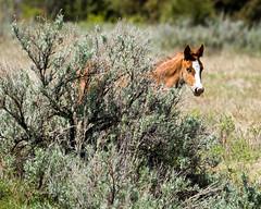 Wild and Cautious (Bill_Oswald) Tags: animals wildlife northdakota colt wildhorses photog theodorerooseveltnationalpark otherkeywords northdakota2016