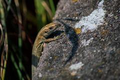 Lizard Weather  [Explore] (Eskling) Tags: ireland nikon lizard whitehead common northern lagartija lézard eidechse lacerta coantrim vivipara viviparous d3200 zootoca