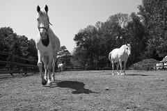 Coming to say hello... (uwbadbadger1985) Tags: horses horse a5100 sonya5100