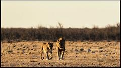 _SG_2016_05_Namibia_0052_IMG_0334 (_SG_) Tags: auto africa park trip horse elephant tree water car nationalpark wasser solitude desert hole lion pride national lions zebra afrika giraffe ausflug elefant namibia herd pferd lioness baum strauch etosha gnus wildebeest watering wateringhole lwe lwen elefanten 2016 einde giraffen antilopen lwin herde prideoflions etoshanationalpark standpost wasserstelle etoshapark lwenrudel elefantenherde wildebai giraffenherde giraffesherd