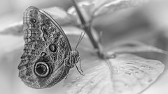 B&W Macro (DC P) Tags: light blackandwhite bw white black macro nature monochrome field animal monster canon butterfly insect eos mono la fly photo blackwhite leaf still fantastic soft flickr pretty noir sitting dof wasp angle bokeh negro butterflies insects 100mm sharp depthoffield l serene monday quinta depth soe f28  essenza bej blackwhitepassionaward