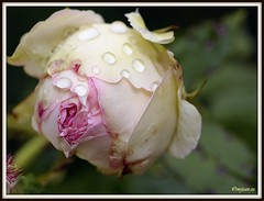 _JVA6848 (mrjean.eu) Tags: park pink flowers blue roses white france flower macro green nature fleur rose yellow fleurs garden nikon jardin botanic lorraine botanique parc metz 105mmf28