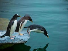 321 - dive! (jane.renton) Tags: penguin edinburghzoo