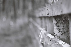 HFF (ggcphoto) Tags: white black monochrome grass closeup fence outdoor perspective ivy depthoffield 300mm 70300mm fencefriday canoneos600d eosrebelt3i