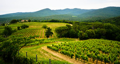 vineyards in Bolgheri (torelli marco) Tags: italy green nature colors wine super vineyards toscana livorno vino carducci tuscan bolgheri vigneti castagneto grattamacco