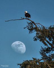 moonrise watch (marneejill) Tags: moon eagle moonrise