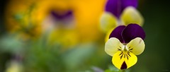 Pensées sauvages (Alexandre LAVIGNE) Tags: wallpaper macro nature fleurs jaune lumière couleurs violet vert printemps ambiance violatricolor fonddécran penséesauvage justpentax penséetricolore louisengival pentaxk3 format2351 pentax100mmf28macrowrsmcdfa