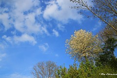 Tree with white blossom (Tim Ederveen) Tags: blue trees sky white nature netherlands clouds tim spring europe blossom nederland natuur explore limburg zuid 2015 ederveen explored simpelveld inexplore