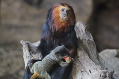 A mother Lion Tamarin adopts a baby Emperor Tamarin (praja38) Tags: life uk wild baby london nature mammal zoo monkey infant feeding mother humour primate tamarin capricorn adopts emperortamarin goldenheadedliontamarin liontamarin