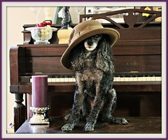 19/52 Purple, Wood, Hat & Dog Challenge (Bella Lisa) Tags: dog candle purple wine piano explore poodle ht challenge cande miniaturepoodle poodledogs 52weeksfordogs 52wfd