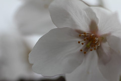 IMG_5909.jpg (Christian Kaden) Tags: 90mm canoneos60d cherryblossom japan kirschbaum kirschblte kyushu nagasaki pflanze pflanzen plant sakura tamron tamron90mm128 cherrytree