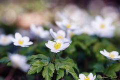 Lovely Anemone (AndiZ275) Tags: white macro forest germany season outdoors bavaria spring woods warm europe wildlife franconia anemone bloom lovely picturesque shallowdepthoffield flowersplants warmcolors soft