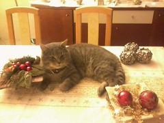 Christmas kitten (Julia Mark) Tags: christmas pet holland animal animals cat kitten kat indoor dieren