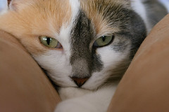 Mimi (bertrandwaridel) Tags: winter home cat switzerland suisse mimi sofa calico february vaud 2015 echallens