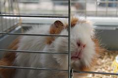 Best Friend (tim_zax) Tags: guinea pig friend