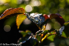 20150430_2628_Rozenblad (Rob_Boon) Tags: plant flower macro garden leaf tuin waterdrops rozenblad waterdruppel robboon