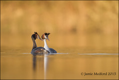 Great Crested Grebe (Podiceps cristatus) (Jamie Medford) Tags: