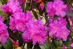 Blossoms_3920 (smack53) Tags: flowers tree canon spring blossoms powershot bushes a510 shrubs springtime smack53