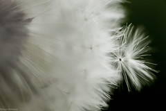 Softly (oxfordwight) Tags: wild flower soft softness dandelion seeds candyfloss