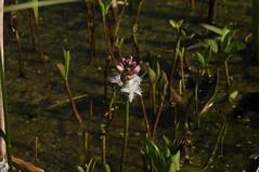 Der Fieberklee (Menyanthes trifoliata) blüht im Südermoor; Bergenhusen, Stapelholm (18) (Chironius) Tags: stapelholm bergenhusen schleswigholstein deutschland germany allemagne alemania germania германия szlezwigholsztyn niemcy moor sumpf marsh peat bog sump bottoms swamp pantano turbera marais tourbière marécageuse blüte blossom flower fleur flor fiore blüten цветок цветение asterids campanuliids asterales fieberkleegewächse menyanthaceae wasser fieberklee menyanthestrifoliata
