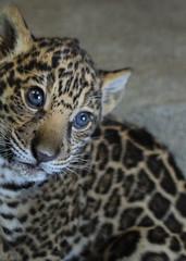 Pure Innocence (Penny Hyde) Tags: cub bigcat jaguar sandiegozoo babyanimal flickrbigcats