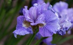 Bursting Forth! (fotostevia) Tags: flowers iris purple aitkenssalmoncreekgarden