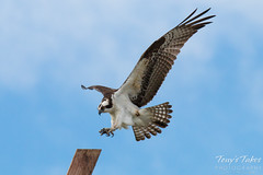 Male Osprey landing sequence - 6 of 13