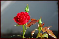 Time of Roses (petrk747) Tags: voyage flowers roses flower travelling nature rose flora saariysqualitypictures esenciadelanaturaleza timeofroses