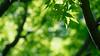 GREEN (Ted Tsang) Tags: park travel tree green nature leaves japan tokyo spring maple ueno bokeh olympus momiji 日本 東京 上野 macroshot 楓葉 上野恩賜公園 em1 上野公園 1240mmf28