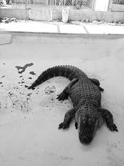Aligator (chloejadeyoung) Tags: show travel family summer vacation blackandwhite usa sun holiday hot nature monochrome animal contrast america outdoors photography still student dangerous warm break florida miami alligator sunny abroad heat creature humid neutral 2015