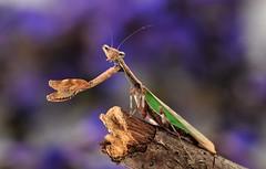 Acromantis formosana (Celimaniac) Tags: macro mantis insect prayingmantis mantide gottesanbeterin fangschrecke nikond3s acromantisformosana