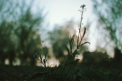 Spring is late  (baofengwuya) Tags: china sunset plant macro canon photography eos spring photographer chinese   eosm2