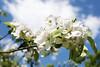 Apple Blossom, Lohja 4