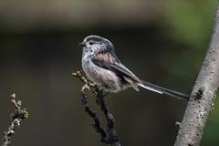 Long tail Tit with Nikon D810 (swanseajack2013) Tags: uk birds wales garden nikon long tit tits tail sigma peanuts 70300mm longtailtits f456 d810