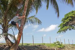 IMG_3070 (YoshGuenther) Tags: beach puertorico outdoor climbing pr coconuttree aguada treeclimbing cocunut jackguenther gratefulsoulshostel