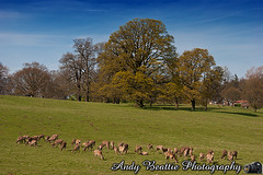 2016-05-04-056 (Andy Beattie Photography) Tags: uk england nature landscape mammal photography europe photographer wildlife yorkshire deer halifax ungulate northyorkshire westyorkshire ripon eventoed pecora cervusnippon sikadeer hoofed andybeattie andybeattiephotography