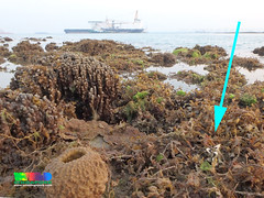 Fluted giant clam (Tridacna squamosa) (wildsingapore) Tags: nature island marine singapore underwater wildlife coastal shore intertidal seashore mollusca bivalvia marinelife tridacna wildsingapore tridacnidae squamosa terumbubemban