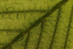 Feuille de marronnier en contre-jour (NonoSystemPhoto) Tags: marronnier feuille contrejour transparence