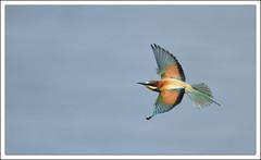 Gupier d'europe (guiguid45) Tags: bird nature nikon loire oiseaux sauvage meropsapiaster europeanbeeeater loiret 500mmf4 d810 specanimal gupierdeurope
