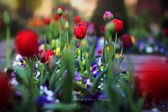 The red tulips (|| Rehnumah Insan ||) Tags: red summer england blur flower color contrast canon garden newcastle spring soft dof bokeh 85mm tulip saturation primelens 600d crookhallgardens