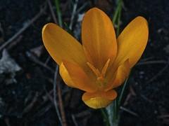 Crocus spec 6 (heinvanwinkel) Tags: nederland tuin 2008 krokus februari iridaceae nieuwkoop magnoliidae spermatophyta tracheophyta ixieae iridoideae lilianae euphyllophyta crocusspec bloemvandedag iridales iridineae