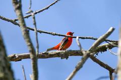 Scarlet Tanager (Bill VanderMolen) Tags: ohio bird warbler woodwarbler woodwarblers mageemarsh ohiobirds mageemarshwildlifearea ohiobirding warblermigratory