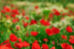 Spring (Martin PEREZ 68) Tags: red blur flower color verde green primavera nature fleur rouge countryside spring rojo flor vert poppy campo campagne printemps couleur flou coquelicot amapola borroso