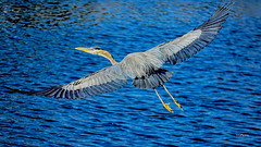 Impressions In Ink (vgphotoz) Tags: blue arizona lake heron nature water ink wings nikon impressions nikkor bif 55200mm greatphotographers thegreatblue vgphotoz