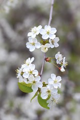 Cherry blossoms (Dmitry Stebnev) Tags: sunset summer sun plant tree nature grass fruit canon garden cherry eos herbs blossom russia bokeh moscow happiness 650d