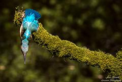 Eisvogel Weibchen(Alcedo atthis)-Common Kingfisher,Female-Wildlife,Northern Germany-Bremen (Cristoforo Colombo) Tags: nikon sigma kingfisher wmme eisvogel