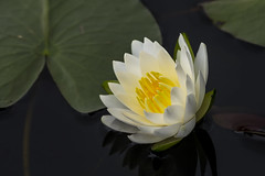 Another Angle On Lily - 050416-110344 (Glenn Anderson.) Tags: white lake plant flower reflection nature water yellow spring pond lily blossom outdoor pad serene floater durhams